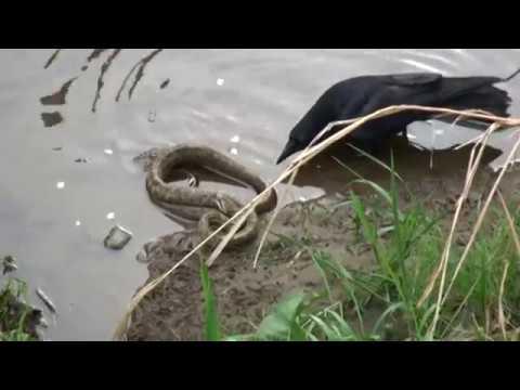 カラスと蛇の威嚇width=190