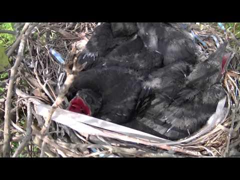 巣の中のカラスの子供width=190