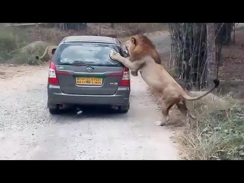 空腹のライオンが車に近づくwidth=190