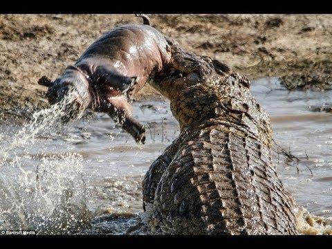 巨大ワニがカバの子供を食べるwidth=190