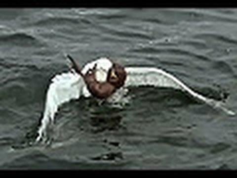 イタチがカモメに襲いかかるwidth=190