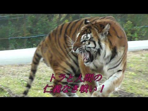 パーク内のトラと人間width=190