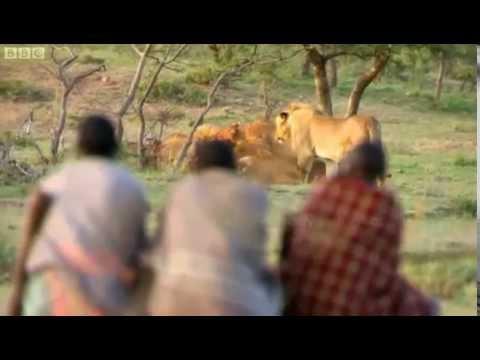 原住民がライオンの獲物を奪うwidth=190