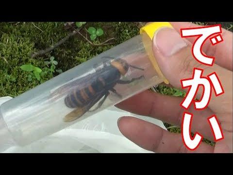 でかいスズメバチを捕獲するwidth=190