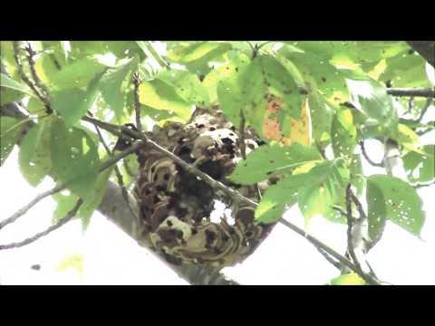 エアガンでスズメバチの巣を破壊width=190