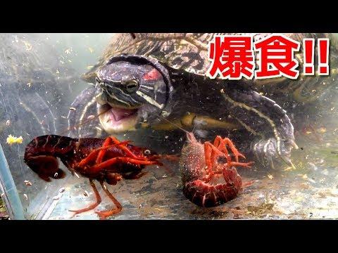 カメがザリガニを食べるwidth=190