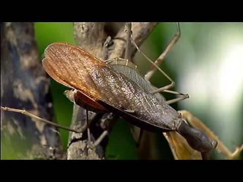 カマキリのメスが交尾後にオスを食べるwidth=190