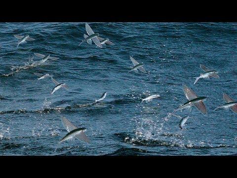飛び魚が必死に逃げようとしているwidth=190