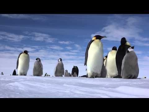 南極大陸の皇帝ペンギンwidth=190