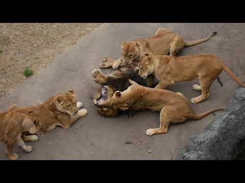 メスライオンがオスライオンを襲うwidth=190