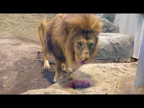 ライオンが肉をガツガツ食べるwidth=190