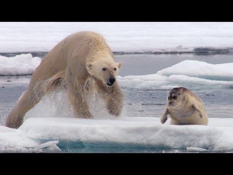 空腹のホッキョクグマがアザラシを襲うwidth=190