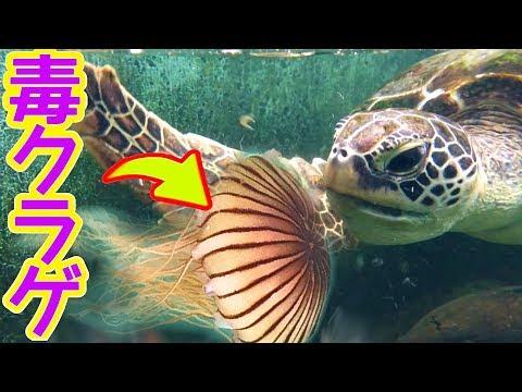 ウミガメが毒クラゲを食べたwidth=190